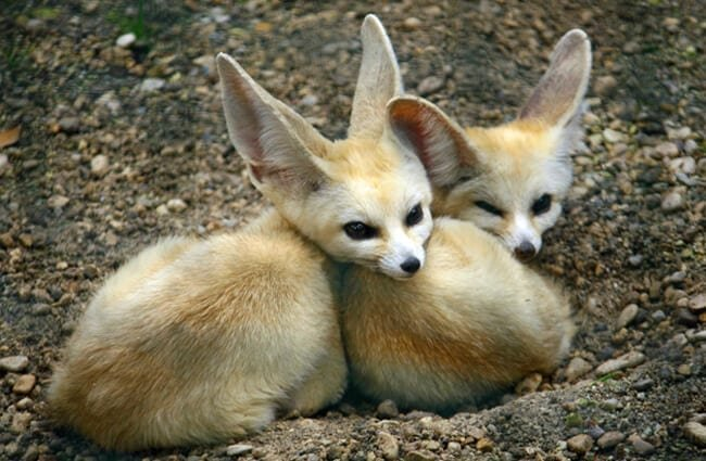 Two young Fennec Fox - notice their long long ears. Photo by: (c) ChiccoDodiFC www.fotosearch.com