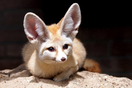 Fennec Fox enjoying the sun and sand.Photo by: (c) Anolis www.fotosearch.com