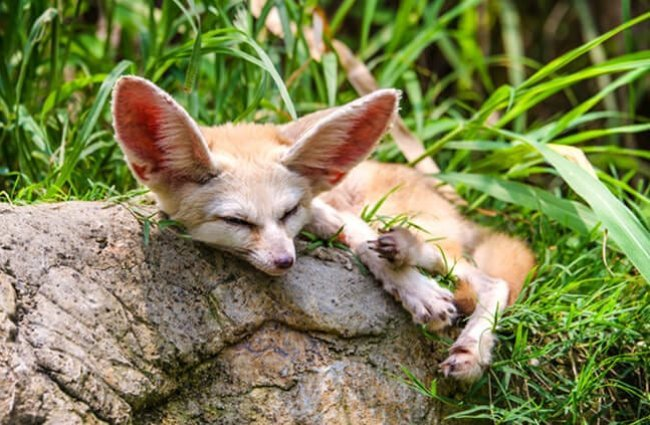 Fennec Fox napping on a rock. Photo by: (c) GraceThang www.fotosearch.com