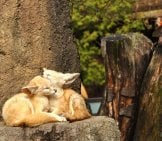 A Pair Of Fennec Fox Cuddling On A Rock Ledge.