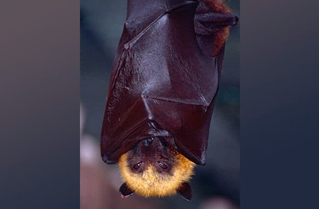 Madagascan Flying Fox, wrapped up for sleep. Photo by: Bernard DUPONT https://creativecommons.org/licenses/by/2.0/