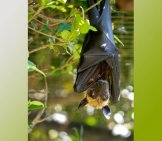 Lyle's Flying Fox At The Lagos Zoo, Portugal Photo By: William Warby Https://creativecommons.org/licenses/by/2.0/