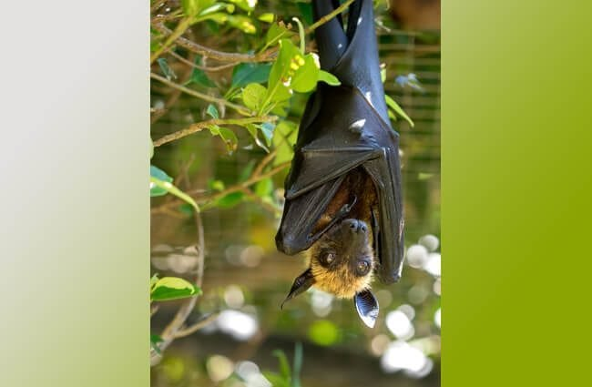 Lyle's Flying Fox at the Lagos Zoo, Portugal Photo by: William Warby //creativecommons.org/licenses/by/2.0/