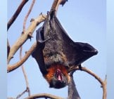 Flying Fox (Fruit Bat) Photo By: Mike's Birds Https://creativecommons.org/licenses/by/2.0/