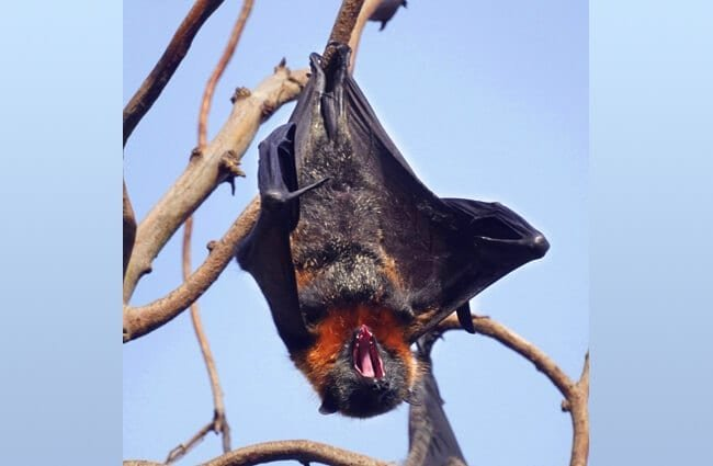 Flying Fox (fruit bat) Photo by: Mike's Birds //creativecommons.org/licenses/by/2.0/