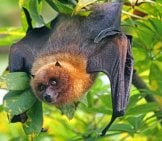 Rodrigues Flying Fox, Peeking Through The Foliage.