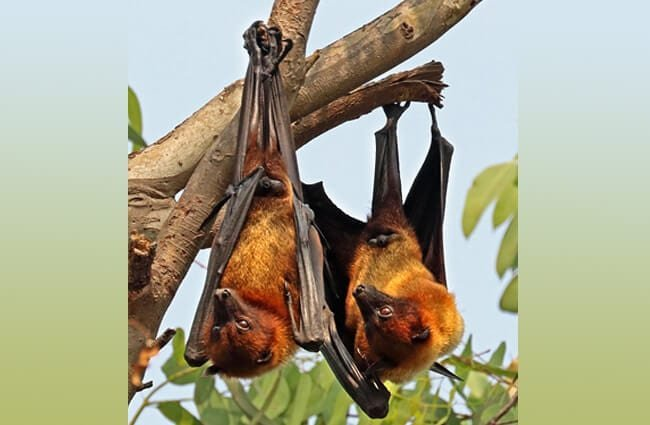 A pair of Indian Flying Fox in a tree.