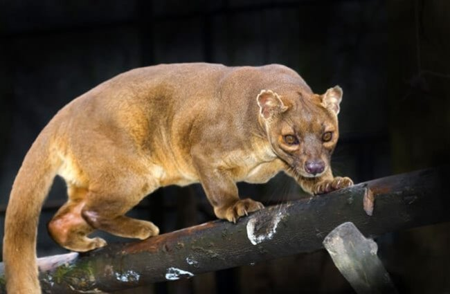 Malagasy fossa on a tree. Photo by: (c) belizar www.fotosearch.com