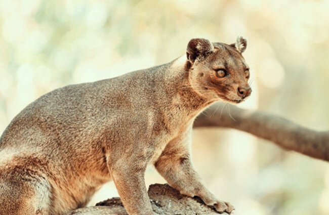 Fossa in Madagascar.Photo by: (c) radub85 www.fotosearch.com
