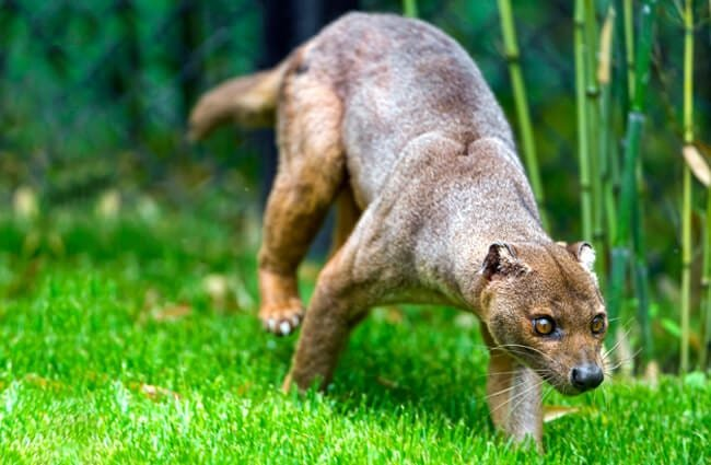 Aging fossa on the grass. Photo by: Tambako The Jaguar https://creativecommons.org/licenses/by-nd/2.0/