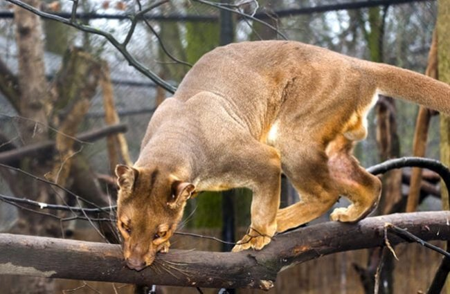 Fossa looking down from a tree branch. Photo by: (c) belizar www.fotosearch.com