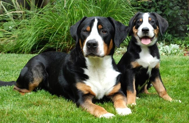 Mother Greater Swiss Mountain Dog with her puppy. Photo by: (c) ckellyphoto www.fotosearch.com