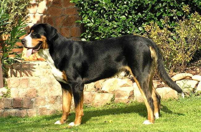 greater swiss mountain dog club of america - 650×425