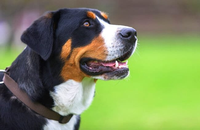 Greater Swiss Mountain Dog in profile. Photo by: (c) photomatic www.fotosearch.com