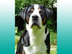 Portrait of a Greater Swiss Mountain Dog.Photo by: (c) ckellyphoto www.fotosearch.com