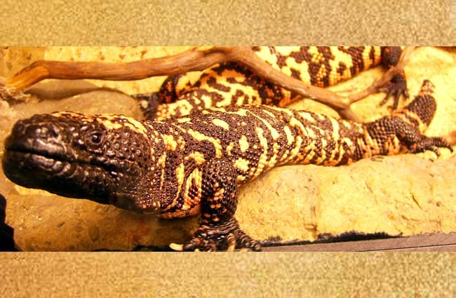 Gila Monster in a captive environment. Photo by: walknboston