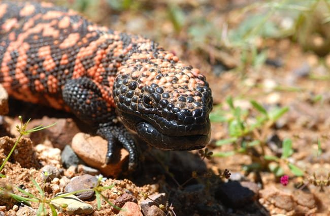 Gila Monster - the only venomous lizard found in the United States. Photo by: (c) rdodson www.fotosearch.com