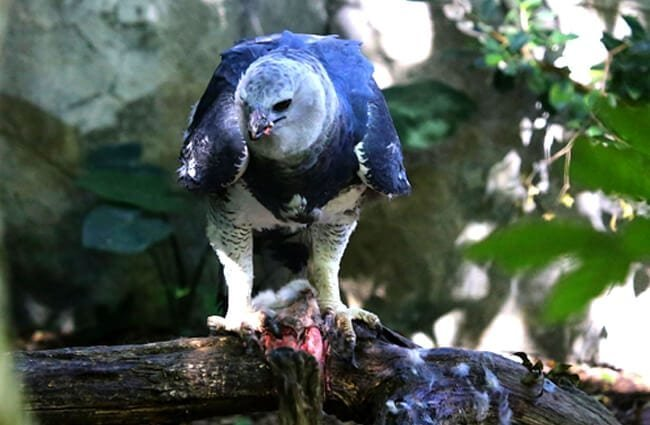 Harpy eagle guarding his prey in a tree. Photo by: cuatrok77 //creativecommons.org/licenses/by-sa/2.0/