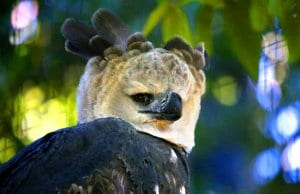 Closeup of a harpy eagle's unique crown.Photo by: cuatrok77//creativecommons.org/licenses/by-sa/2.0/