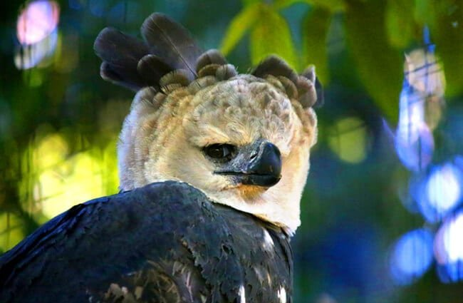 Closeup of a harpy eagle's unique crown.Photo by: cuatrok77https://creativecommons.org/licenses/by-sa/2.0/