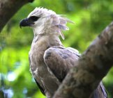 Profile Of A Harpy Eagle. Photo By: Cuatrok77 //creativecommons.org/licenses/by-Sa/2.0/
