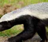 Closeup Of A Honey Badger Walking. Photo By: (C) India1 Www.fotosearch.com