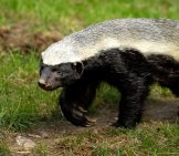 Honey Badger Strolling Along A Path. Photo By: (C) India1 Www.fotosearch.com