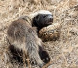 Honey Badger Carrying His Dinner In The Form Of A Tortoise. Photo By: (C) Laurenpretorius Www.fotosearch.com