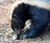 Honey Badger Checking Out A Potential Snack. Photo By: (C) Philbird Www.fotosearch.com