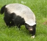 Honey Badger Investigation Something In The Grass.photo By: (C) India1 Www.fotosearch.com