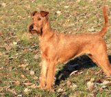 Portrait Of An Irish Terrier At The Start Of Fall. Photo By: (C) Capturelight Www.fotosearch.com