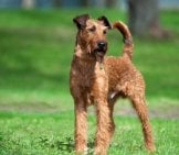 Irish Terrier In A Park. Photo By: (C) Olgait Www.fotosearch.com