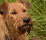 Closeup Of An Irish Terrier Face.