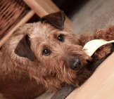 Irish Terrier With His Chew Toy.