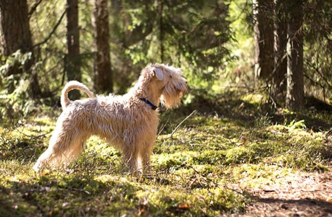 Irish Terrier in the woods.