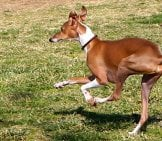 A Sleek Italian Greyhound Prancing Around The Park. Photo By: Randy Robertson Https://creativecommons.org/licenses/by/2.0/