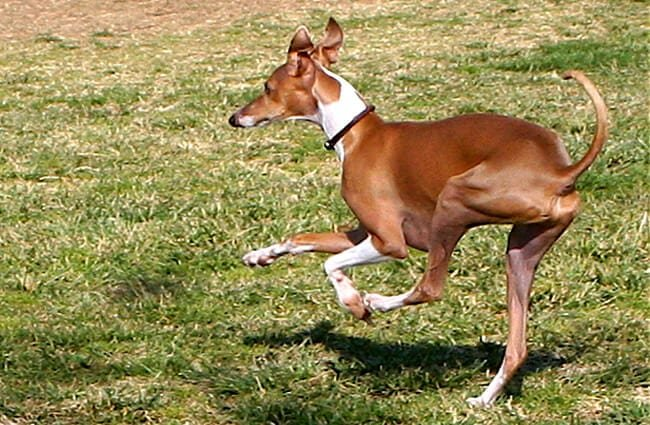 A sleek Italian Greyhound prancing around the park. Photo by: Randy Robertson //creativecommons.org/licenses/by/2.0/