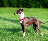 A Stunning Italian Greyhound Playing In The Park. Photo By: (C) Bonzodog Www.fotosearch.com