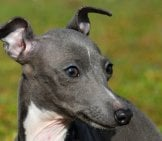 Closeup Of An Italian Greyhound's Face. Photo By: (C) Cynoclub Www.fotosearch.com