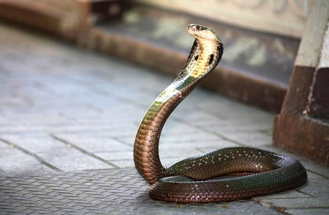 King Cobra snake on the patio. Photo by: (c) potowizard www.fotosearch.com