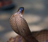 King Cobra Snake In Northern India. (C) Olegd Www.fotosearch.com