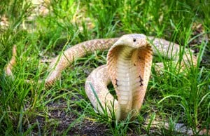 King Cobra in the grass.Photo by: (c) wonderisland www.fotosearch.com