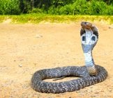 Wild King Cobra, Spreading Its Hood. Photo By: (C) Alinamd Www.fotosearch.com