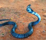 Wild Indian Cobra Spreading Its Hood. Photo By: (C) Oskanov Www.fotosearch.com