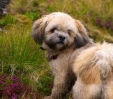Lhasa Apso Puppy Exploring On The Trail. Photo By: Peter & Michelle S Https://creativecommons.org/licenses/by/2.0/