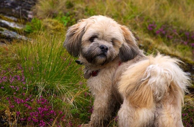lhasa apso description energy level health and interesting facts