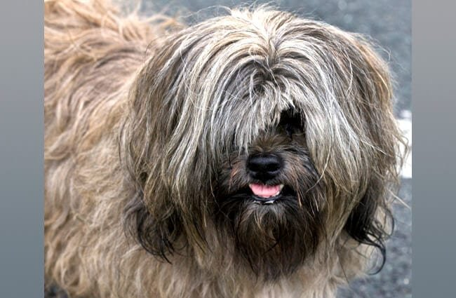 Lhasa Apso with his hair grown over his eyes. Photo by: John https://creativecommons.org/licenses/by/2.0/