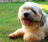 Lhasa Apso Relaxing On The Lawn.