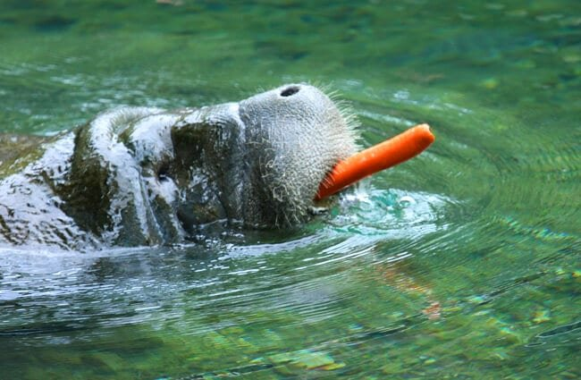 Manatee moving away with his carrot treat. Photo by: John Flannery //creativecommons.org/licenses/by-sa/2.0/