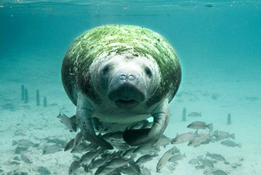 Manatee curious about the camera.